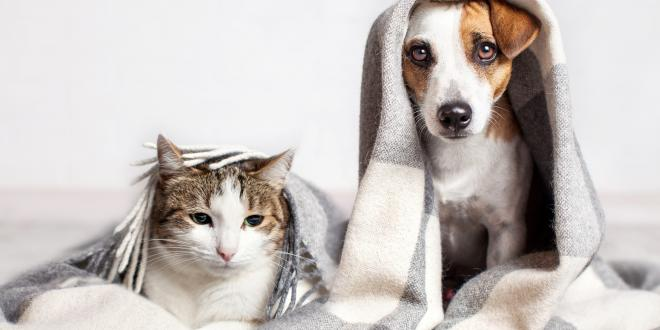 A Jack Russell Terrier with a white and tabby cat underneath a blanket